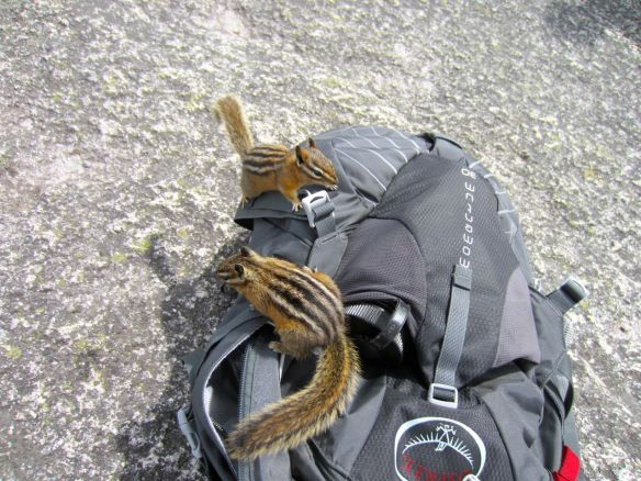 chipmunks on backpacks