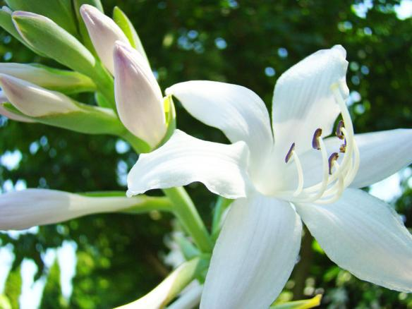 white-lily-flowers-art-prints-lilies-giclee-baslee-troutman-baslee-troutman-art-prints-collections